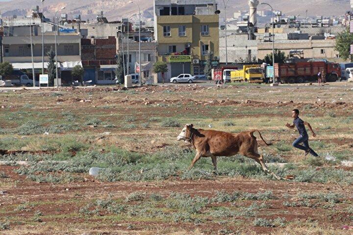 Sahiplerinin haber vermesi üzerine bölgeye Haliliye Belediyesi hayvan yakalama timleri geldi. Uzun süre etrafına kimseyi yaklaştırmayan boğa, zaman zaman görevlileri ve kendisini yakalamak isteyen kişileri kovaladı.