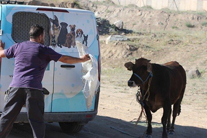 Cadde aralarından geçen hayvanı yakalamak için vatandaşlar seferber oldu. Melikgazi Belediyesi ekipleri de sakinleştirici iğne ile hayvanı yakalamaya çalışırken, vatandaşların ip, halat ve zincirlerle yakalama çabası da sonuçsuz kaldı.