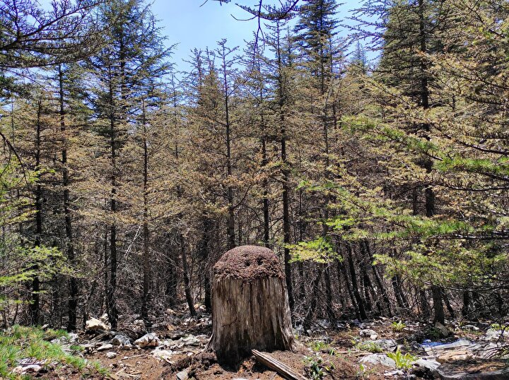 Kırmızı orman karıncaları sedir ağaçlarına zarar veren her türlü böceği, tırtılı, yaprak arılarını, larvaları, kelebekleri, böcek pupalarını ve bitki bitlerini yiyerek, orman zararlılarına karşı işçi gibi çalışıyor.