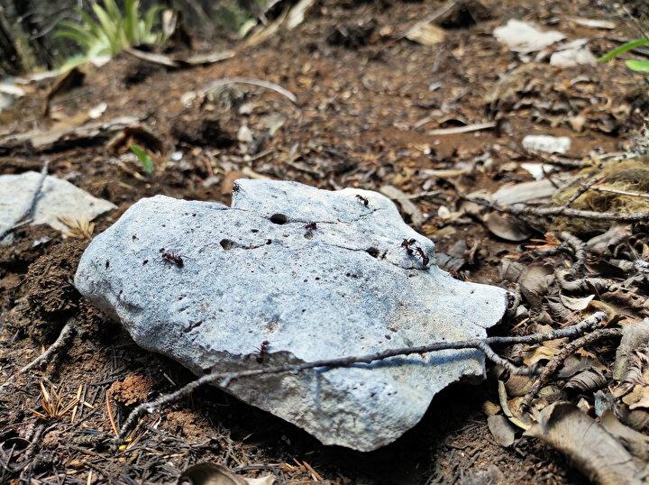 """""""Formik asit salgılıyorlar. Bütün zararlıları bu asit sayesinde öldürüyor, yuvalarına taşıyıp besleniyorlar. Bir anlamda bizim ormanımızın küçük bekçileri. Biyolojik olarak koruma sağlamış oluyoruz. Karıncalar 1400 ile 1750 rakımda yaşıyor. Bu koşulları sağlayamadığımız için diğer ormanlık alanlarda karıncalar yaşamıyor."""