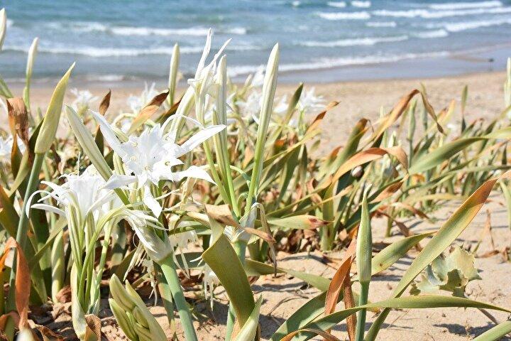 Koruma altına alınma kararı da bulunan ve Sinop sahil şeridindeki kumsallarda açan likya kum zambağı sahillerdeki yapılaşma, bilinçsiz sahil kullanımları, şezlong ve benzeri yapılarla sahillerin doldurulması, çadırcılar gibi nedenlerle yok olma tehlikesi yaşıyor. Bazı vatandaşlar ise sahillerde gördükleri kum zambaklarını kökleyip evlerinin bahçesine götürüyor.