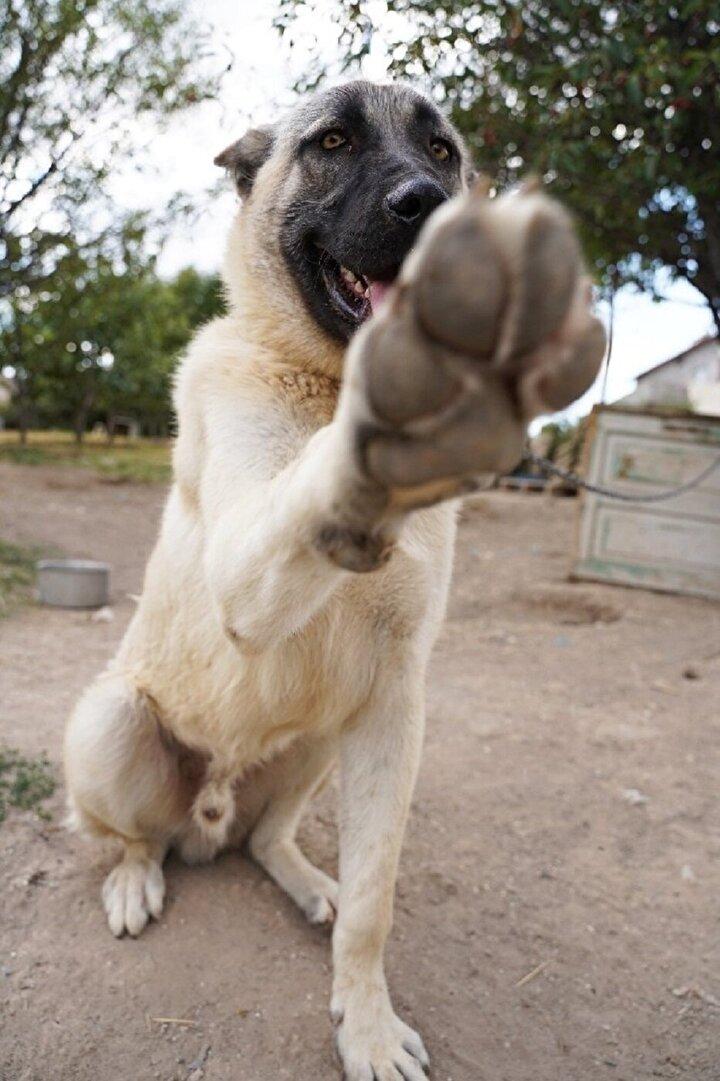 Bu proje ile Sivas merkeze bağlı Çelebiler köyü Meraküm mevkiinde yaklaşık 43 dönümlük arazi üzerine Kangal Köpeği Üretim, Eğitim ve Koruma Merkezi kurulacak. Toplamda 7 milyon lira bütçeli projenin maliyetinin yüzde 75'i ORAN tarafından karşılanacak.
