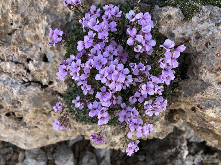 Türkiyede 21 türü bulunan bitkinin 11 türünün endemik olduğuna işaret eden Yıldırım, Bu türlerden biri ise 2000 yılında Antalya Bakır Dağında 2100-2520 metre rakım aralığında keşfedilen, bilimsel ismi Arabis lycica olan ve Türkçe ismi de Bakır kazteresi olan bitkidir. Sonraki yıllarda konu uzmanı araştırıcılar bir daha bu türe rastlamamıştır. Giderek artan insan faaliyetleri, küresel ısınma, aşırı otlatma gibi etkenlerden kaynaklı olarak, popülasyonunun yok olduğu ve türün neslinin tükendiği sonucuna varılmıştır ifadelerini kullandı.
