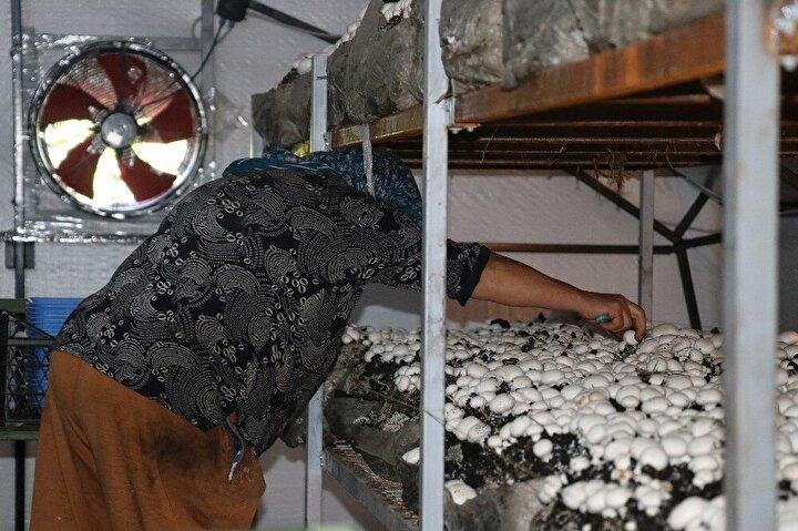 Kursta teorik ve pratik eğitimler alan Demiral, Seyit Mahallesinde kurduğu serada yetiştirdiği 2,5 ton kültür mantarının ilk hasadını yaptı.