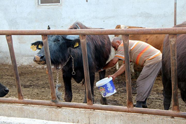 Bakanlık destekli proje ile günlük bir ton manda sütü işlenerek 250 kilogram mozzarella peyniri üretilecek. Türkiye'de daha önce inek sütünden üretilen mozzarella peyniri ilk defa orijinal ham maddesi olan manda sütünden üretilecek.