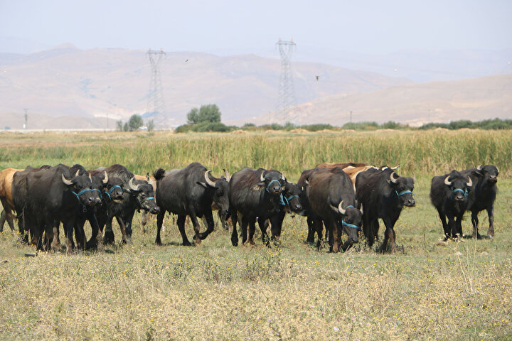 Köyünde manda yetiştiriciliği yapan Yıldırım Esener ise devlet destekli 20 mandayı yetiştirdiğini söyleyerek, 3 yıl önce tarım ve hayvancılık için dedemden kalma arazileri, tarım ve hayvancılığı yapmamız gerektiğini, tarım ve hayvancılığın dünya genelin de iyi ekonomi iyi bir getirisi olduğunu gördük. Daha sonra biz de tarım ve hayvancılığa başladık. Devlet destekli mandacılığın olduğunu gördük. Biz de başvurduk. Valilik ve kaymakamlıktan 20ye yakın bir manda desteğinde bulundular. Bu konuda çok deneyimli değildik. Ama, geçmişte buralarda mandacılık kültürü vardı. Dedem geçmişte bu işi yapıyordu. Yaptığımız işlerin yanında, mandacılıkta çıtayı yükseltmenin en iyi olduğunu gördük. Yüksekovanın belirli yerlerinde mandalardan elde ettiğimiz doğal ürünleri, mini marketlere satıyoruz. Mandaların tereyağı, yoğurdu, peyniri ve sütü oldukça lezzetli. Vatandaşlardan yoğun talep var dedi.