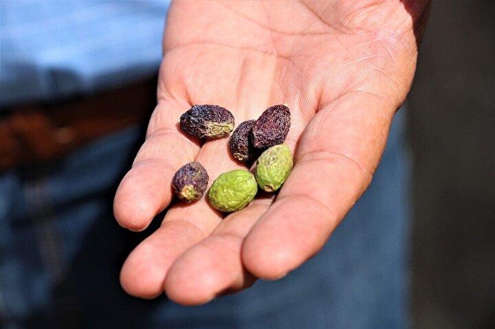 Zeytin üretiminde önemli bir yere sahip olan Manisada, mevsim normallerinin üzerinde seyreden hava sıcaklıkları zeytin üreticisini endişelendirdi. Çöl sıcakları nedeniyle yaklaşık 1,5 ay sonra hasadına başlanacak olan zeytinlerde buruşmalar meydana geldi.