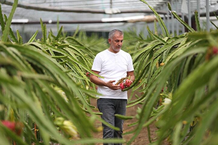 Özhan Öztürk, yurt dışında dragon fruit, Türkiyede ise pitaya olarak adlandırılan meyveden bu yıl yaklaşık 5 bin adet rekolte bekliyor.