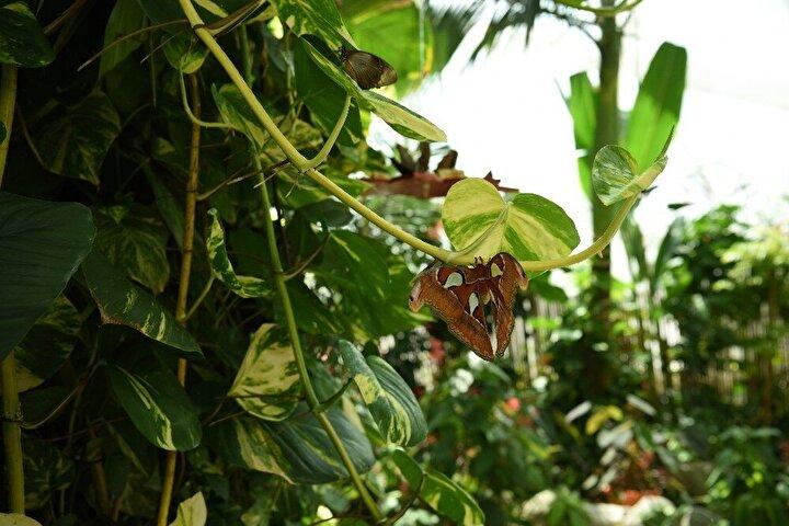 Tropikal ülkelerden gelen 45 farklı türdeki rengarenk binlerce kelebeğe doğal yaşam alanı sunan Konya Tropikal Kelebek Bahçesi'nde ayrıca farklı hayvan türleri ile birlikte 106 türe ait yaklaşık 20 bin adet bitki yer alıyor. Tropikal Kelebek Bahçesi'ndeki 45 farklı türden biri olan Güney Asya kökenli Atlas kelebeği Filipinler'den getiriliyor.