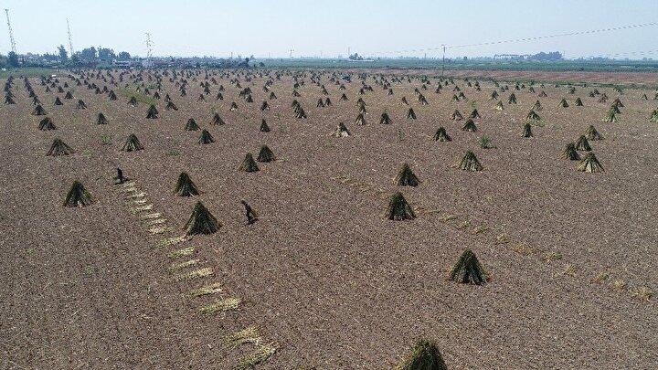 Bin bir emekle hasat edilen susamın kilosu 14-16 liradan satılıyor