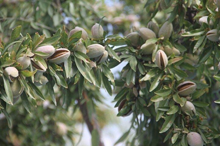 7 yıl önce 20 bin ağaçtan ürün alan şimdi ise 37 bin ağacı ile sadece geçen sene 136 ton ürün kaldıran Yazıcı, bu sene daha fazla rekolte bekliyor.Yazıcı, tüm ağaçlarının olgunlaşması ile 2 yıl içerisinde yılda ortalama 200 ton ürün elde etmeyi bekliyor. İl Tarım ve Orman Müdürü Turan Karahan'da, üreticiyi tarla da ziyaret ederek bilgiler verdi.