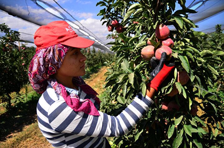 Bölgede nem oranının düşük olması, elma yetiştirilen diğer birçok bölgeye göre ilaç kullanımının yarı yarıya düşmesine imkan sağlıyor.Bahar döneminde yapılan seyreltme işlemi ile elmaların standart bir kaliteye ulaşması sağlanırken, tamamı ihraç edilen elmalar, işçiler tarafından özenle toplanıyor.