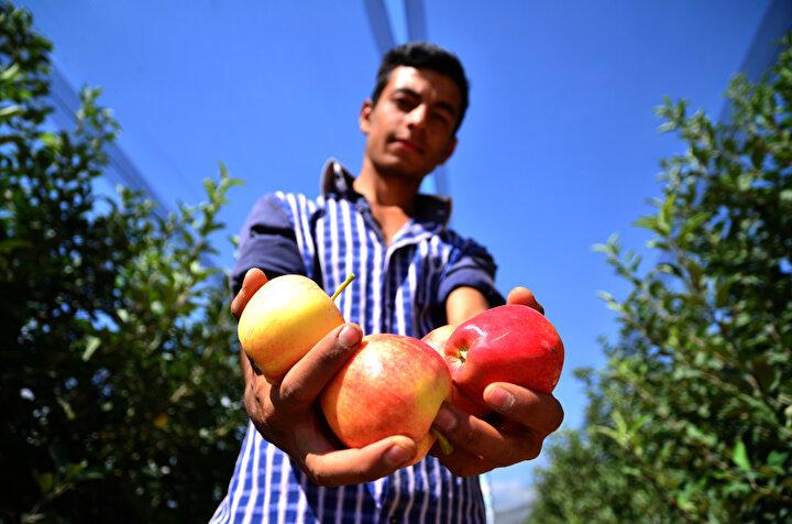 Gereksiz ilaç ve gübre kullanımı olmadan, yaklaşık 200 dönümlük bahçede yetiştirilen elmalar, bahçenin üzerini tamamen örten file ile dolu ve güneş yanığından korunuyor.