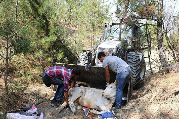 20 metrelik uçurumdan düşen inek sağ arka ayağından yaralanırken Dağoğlu, ineğin sahibi Gergen'e haber verdi.
