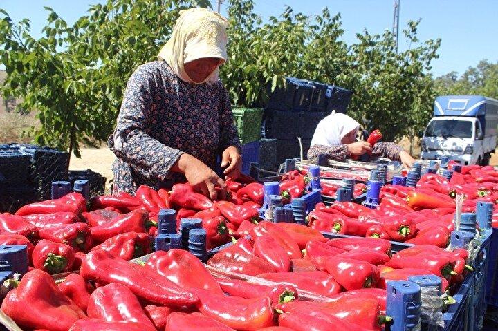 """Poyraz Köyü Sulama Kooperatifinin kurulup bu yılda dağıtım şebekesinin hayata geçmesiyle de ekim alanlarında ciddi bir artış olduğunu anlatan Çiftçi, """"Köyümüzde kaliteli kapya biberi yetiştirilmektedir. Köyümüz geçmiş yıllarda tütünü ile meşhur idi. Tütünün fiyatı düşünce, üretici sulu tarıma geçip, kapya bibere yöneldi. Şuan yetiştirdiğimiz ve hasadını yaptığımız ürünleri Türkiyenin dört bir yanına gönderiyoruz şeklinde konuştu."""