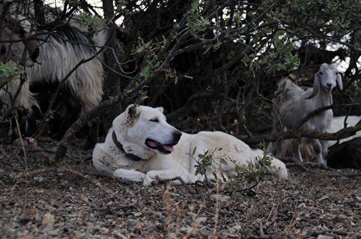Türkiye'de büyük köpek hevesi de oturdu. Akbaşları büyük köpeklerle eşleyip büyük beyazlar üretip bunlara Akbaş demeye başladılar. İyi Akbaş yetiştiricilerinin, bakıcılarının ellerindeki köpekleri de vurmaya başladılar. Bu sene Eskişehir'de 9'dan fazla Akbaş vuruldu dedi.