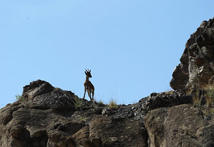 Dağ keçilerinin korunmasının doğa için önemine işaret eden Şimşek, yaban hayatına zarar verilmemesi gerektiğini ifade etti.