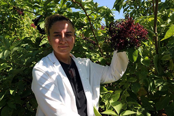 Çiftçiye bunu tanıtarak üretimi artırmak hedefimiz. Araştırma enstitüsü olarak Yalova liderliğinde, dört farklı lokasyonda biz bir adaptasyon projesi başlattık. Mürver var içerisinde. Bahçemizde iki çeşit var, Hasberg çeşidimiz ve Tokatta seleksiyon çalışması olarak belirlenmiş Tokat tipimiz var, üstün özellik gösteren. 2017 yılında biz bahçemizi Eylül ayında tesis ettik. Bu sene üçüncü yılı gayet verimli ve bütün çalışmalarımızda olumlu sonuçlar aldık. Burası yaklaşık yarım dönüm ve yarım dönümden 300 kilogram verim aldık. Dekarına, dönümüne 1.5 ton verim alabiliriz. Bizim önerimiz ilimizde bu meyveyi yaygınlaştırmak. Mevcut yetiştiricilik yapılan meyvelere bir alternatif ürün olarak sunmak diye konuştu.