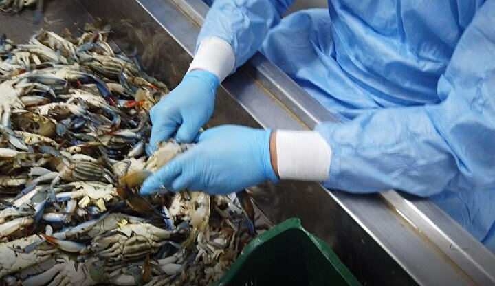Mavi yengeçlerin eti gıda sektöründe, kabukları da kozmetik sanayisinde kullanıldığını belirten Dalyan Su Ürünleri Kooperatifi Başkanı Arif Yalılı, Son 3 yıldır mavi yengece ciddi bir talep olmaya başladı. Daha önceleri de yörede mavi yengeç vardı. Ancak, kayda değer görülmüyordu, kıymeti bilinmiyordu. Hatta, bir dönem balıkçıların ağlarını yırttığı için mavi yengeçler korkulu rüyamızdı dedi.