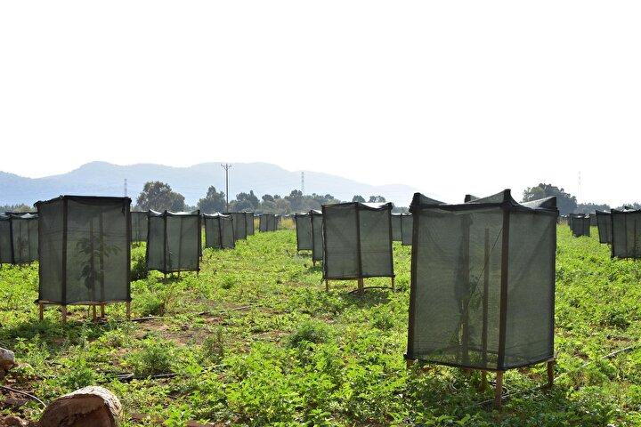 Görenlerin füze rampası ya da tuvalete benzettiği avokado bahçesi