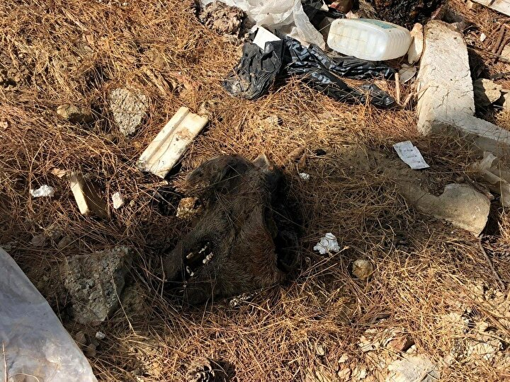 Çiftlikte kaçak kesim yapıldığı yönünde defalarca şikayette bulunduklarını, geçtiğimiz günlerde domuzların ekili alanlara zarar verdiği için jandarmaya şikayette bulunduklarını belirten Kavuklu, 7 yıldır domuz çiftliğini buradan kaldıramadık. Geçen hafta kaçak kesim yapıldığı yönünde şikayette bulunduk. Tarım İlçe Müdürlüğü yetkilileri kesimlerin kendi bilgileri dahilinde yapıldığını söyledi. Şimdi gelip burayı görmelerini istiyorum. Kaçak kesimin belgesi burada. Kesilerek satılan domuzların iç organları ve diğer pislikleri ormana atılmış. Köpek ve yabani hayvanlar poşetleri parçalamış. Kokudan bölgeye yaklaşılamıyor. Yetkilileri göreve davet ediyorum dedi.