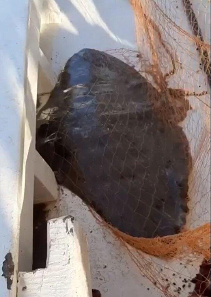 Balıkçılar, ağlarına takılan vatozu denize saldılar