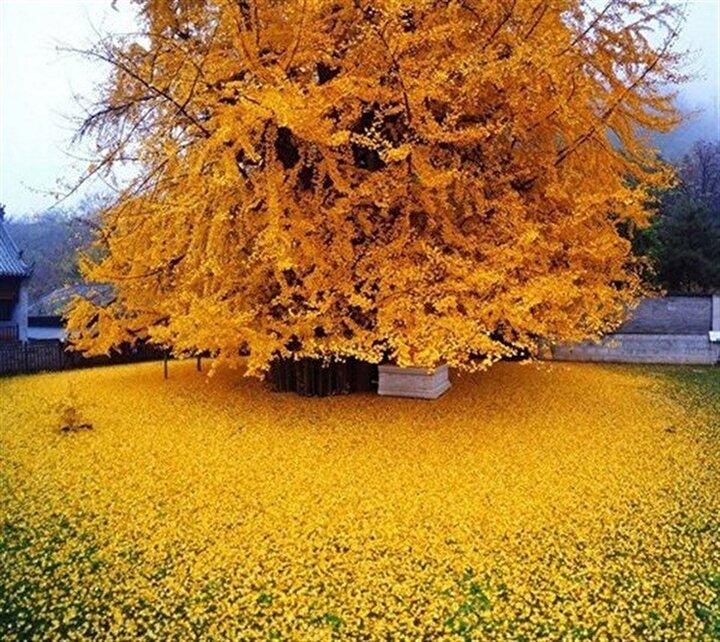 Sonbaharda yapraklar parlak sarı renge döner ve hemen sonra (1-15 gün arasında) dökülürler.