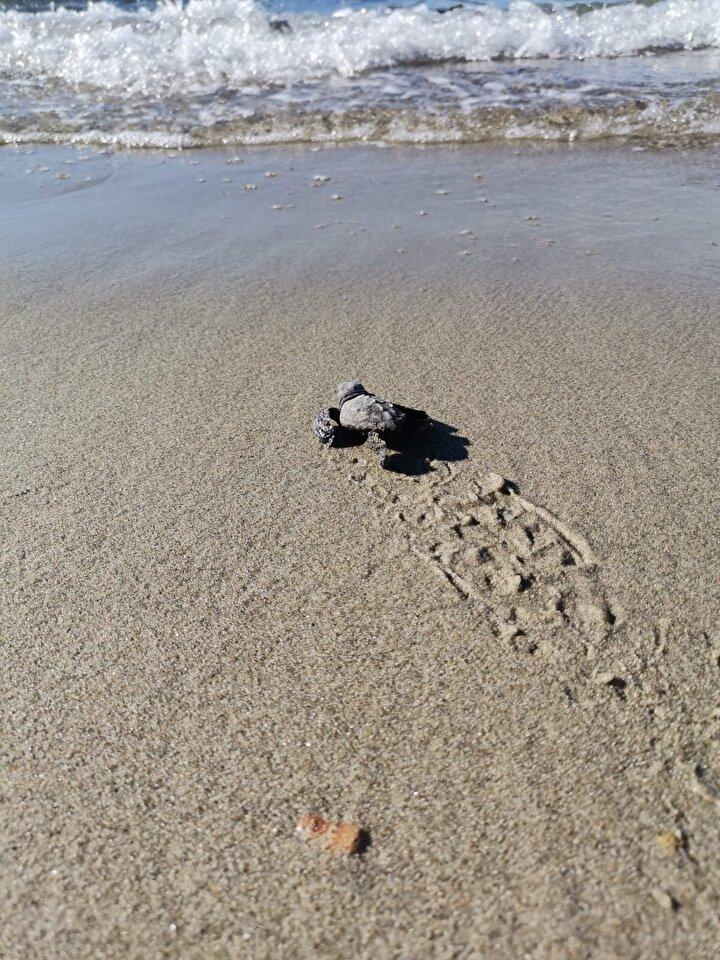 Hatayda koruma ve izleme çalışmalarını tamamladıklarında sezonu kapattıklarını düşünürken bu keşifle çok özel anlar yaşadıklarını vurgulayan Kırbeci, şunları kaydetti:Yuvayı kontrol ettiğimizde 50 yumurta olduğunu tespit ettik. Bunlardan çıkıp sağ kalan 32 yavruyu denize saldık. Çok şaşırtıcı. Çünkü ağustos ortası ve sonu itibarıyla kaplumbağalar çok nadir yuvalama yapmakta ancak carettalar için bu biraz daha ekstrem bir durum bizim için. Dişinin yumurtalarını 15-20 Ağustos tarihlerinde bıraktığını tahmin ediyoruz. Ekim ayının daha soğuk geçeceğini düşündüğümüz zamanlarda yuvaların çıkması o da çok düşük bir ihtimal. Yumurta sayısına baktığımız zaman bulduğumuz yuvada şu an yüzde 70 başarı mevcut. Bu da Çanakkale ve bizim merkez için çok güzel bir durum.