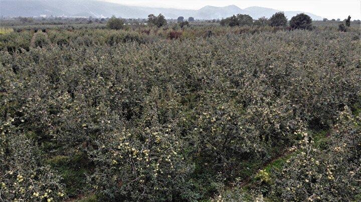 Bursada Kestel ilçesinin Dudaklı köyü, bundan 3 ay önce dolu felaketi yaşadı. 3 ay önce yağan dolu yeni büyümeye başlayan deveci armutlarına büyük zarar verdi.