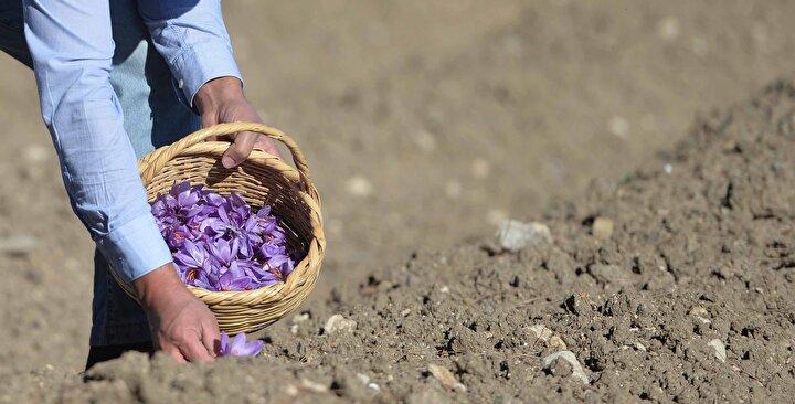 Çiçekleri görmeye gelenlerin çok olduğunu aktaran Yılmaz, Bu yıl genellikle Arap ülkelerinden geliyorlar. Onlar safranı çok seviyor ve tüketiyor. Kilosu 40 bin liradan satıyoruz. Ağustos ayında soğanlarını diktik. Ekim ve kasım aylarında çiçeklerini hasat ediyoruz. Soğanlar 3 yıl boyunca toprakta kalıyor ve her yıl çiçeklerini topluyoruz. Bir soğan 8-10 yavru veriyor. diye konuştu.