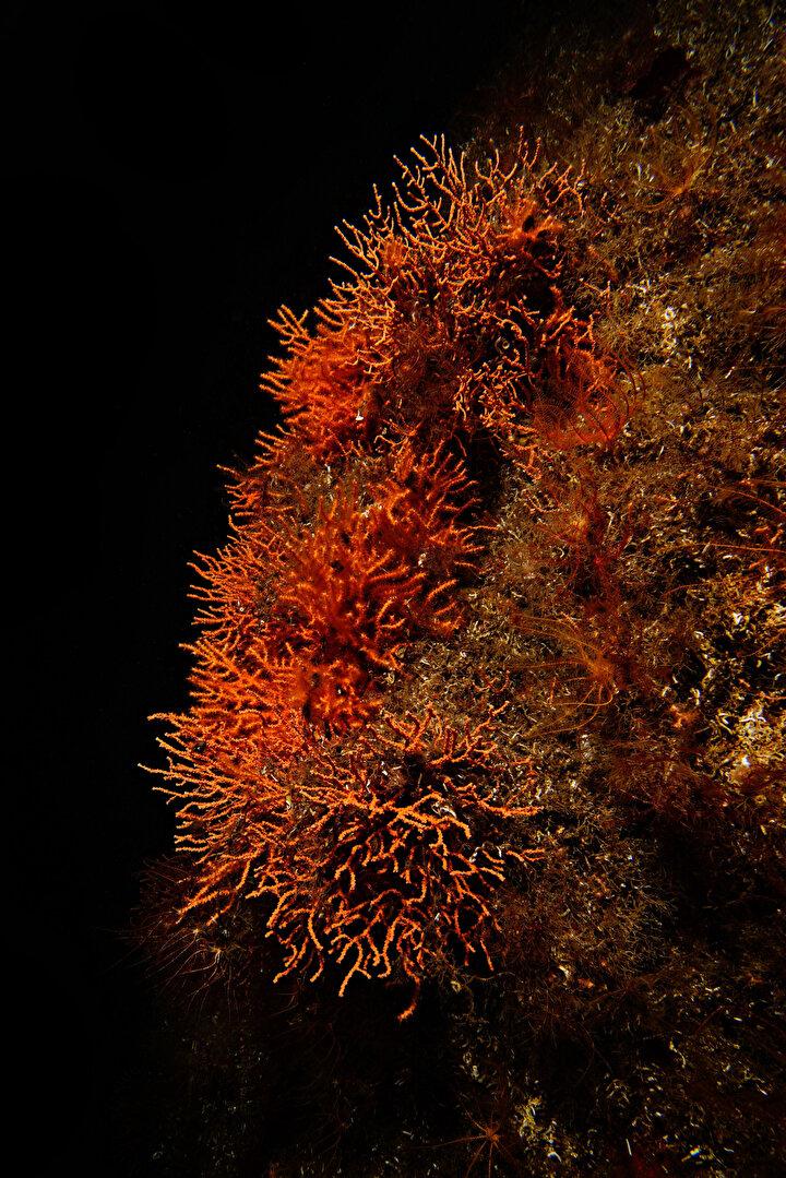Narcı, mercan ekimini nasıl yaptıklarını ise şu sözlerle aktardı: Birinci aşama Sivriada'da 27 metrede bulunan mercanları her bir mercandan tek bir pay alıyoruz, yani tamamını alıp buraya getirmiyoruz. Bir ekim gibi bu çünkü esas türler orada duruyor. Onlardan parçalar alarak kavanoza koyarız, aşağıda Akdeniz suyuyla kavanozu mühürleriz. Sonra yukarı çıkarıp teknede bulunan buz dolu bir dolapta yani 15 derece sıcaklıkta tutabileceğimiz bir alana alarak 1.5 saatlik bir mesafeden Sivriada'dan buraya Neoandros Adası'na geliriz.