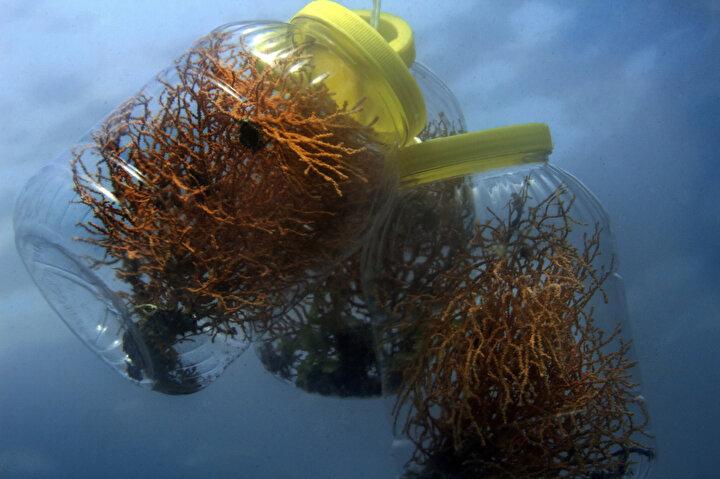 Projede ilk turda 2 aşamalı olarak 280 mercan ekimi yapıldı. Bu kez ise 200 mercan ekimi yapılması planlanıyor. Mercanları ekme süresi ise bütçe ve hava şartlarına göre değişiklikler gösteriyor.