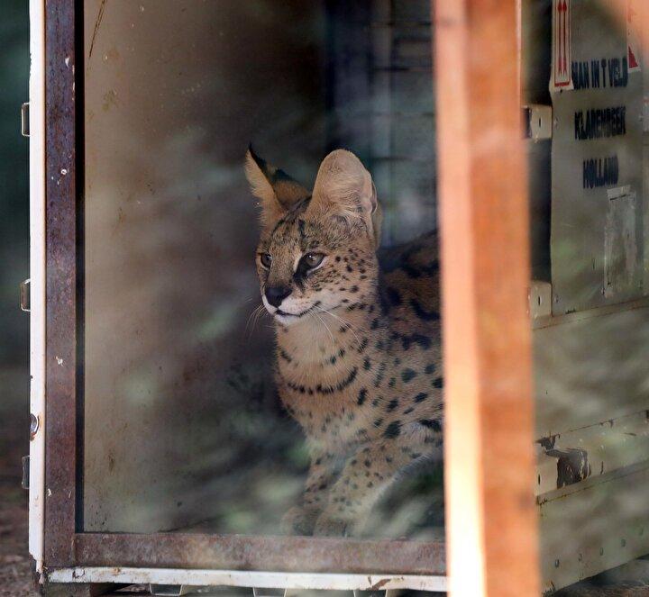 Serval kedisi şu anda Türkiye'de sadece Gaziantep Hayvanat Bahçesinde bulunuyor. Bu kedimiz dişi, yurt dışından erkeğini getirterek üretmeyi planlıyoruz. Serval kedisi nesli tükenmekte olduğu için burada koruma altında tutup, çoğaltarak sayılarını artırmayı hedefliyoruz.