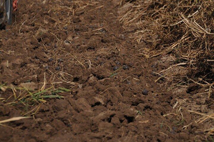 4 aylık bir süreçte ekimini tamamladık ve şimdi de hasadını yapıyoruz. Çiftçi kızıyım yıllardır çiftçilikle uğraşıyorum. Mor patates dışında birçok ürün ekiyoruz. Herkesin ektiği üründen farklı bir ürün ekmek istedik. Eskişehir'de de bu ürünün yetişebileceğini göstererek mor patatesi ekip hasadını yapıyoruz diye konuştu.