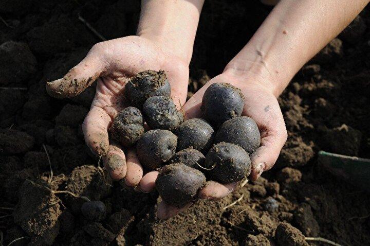 Vitamin deposu olan mor patates, mayıs ayının sonlarında toprakla buluşurken ekim ayında hasadı yapılıyor. Rengi ile reyonları süsleyen mor patatesin faydası ise saymakla bitmiyor.