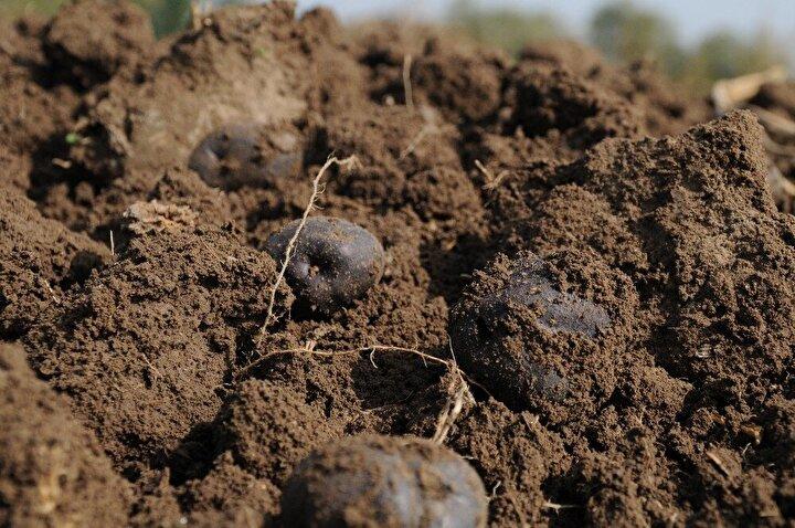 Beyaz patatesten daha yoğun bir dokuya sahip olan mor patates, muzdan daha fazla potasyum içeriyor. Kilogram fiyatı 60 liraya satılan mor patates piyasada 'mor mücevher' olarak adlandırılıyor.