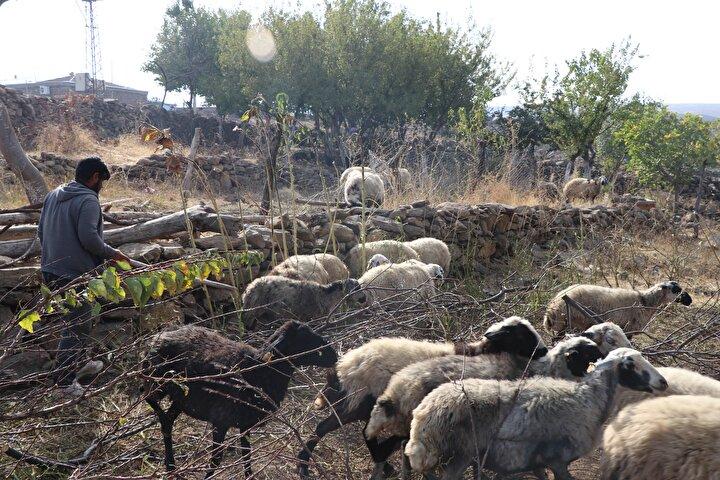 Diyarbakır Damızlık Koyun ve Keçi Yetiştiricileri Birliği Başkanı İsmail Karacadağ da telef olan ve yaralanan hayvanlar için jandarma ile Tarım ve Orman İl Müdürlüğü tarafından tutanak tutulduğunu anlatarak, şunları kaydetti:40 civarında zayi var. 18 tanesi ölü. Yaralanan 12 tanesi kesilmek üzere satıldı. Şu anda mevcut olan yaralılar da ölecek. 85 bin TL civarında zararı var. Mehmet Hamsa için destek istiyoruz. Çünkü hayvanlarının 4te biri gitti...