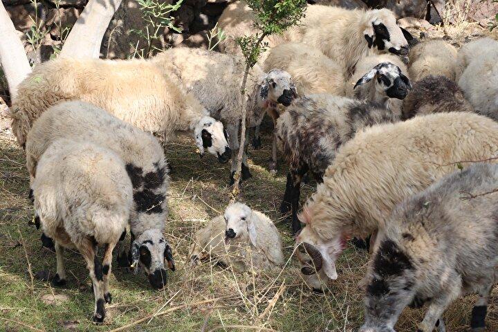 Bağlar ilçesi kırsal Alatosun Mahallesi Darbi mezrasında geçen hafta, hayvancılıkla geçimini sağlayan Mehmet Hamsanın 200 küçükbaş hayvanı ağılda kurt sürüsünün saldırısına uğradı.