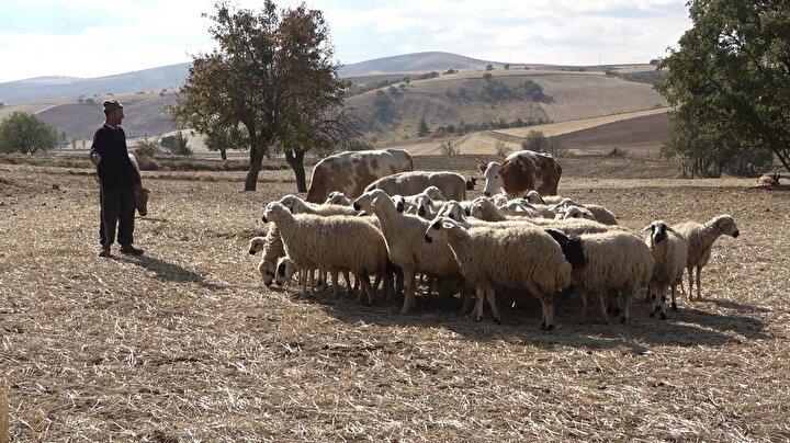 """Besicilik yaparak geçimini sağladığını belirten Albayrak, """"Mallarımı getireyim dedim koyunlarım kayboldu bu defa. Eşime dedim şu hayvanlara bir bak. Hayvanları kaybetti bunları bulamazsak eyvah eyvah 32 davar gidiyor dedim. Ben ne yapayım 32 bin lira gitmişti şu anda. Bizim gelin var baba dedi jandarmaya bildir bunu jandarma ilgilensin dedi. Jandarma geldi. Nasıl yaptın bunu dedi. Önümden kaçırdım hayvanlarımı. Ama hudutta yakalayamadım hayvanları. Sabah 04.00ten beri ayaktaydım iki bardak çayım burnumdan geldi. Jandarma geldi kamerayı gönderdi en sonunda koyunlarımı buldu. Jandarma bundan sonra da gözünün önünde bak, hayvanına sahip çık dedi. Ne yapayım ben de bununla geçiniyorum. Bir gelirim yok. Ben bu hayvanlarım ile uğraşıyorum. Devletten de Allah razı olsun geldiler hayvanımı buldular diye konuştu."""