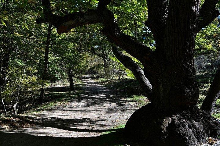 Asırlık kestane ağaçlarının çoğu tapulu araziler üzerinde bulunsa da hazine arazisinde bulunan kestaneler de var. Bu ağaçların meyveleri ise vatandaşlarca toplanıyor. Sonbaharın bu güneşli günlerini fırsat bilen vatandaşlar ailece asırlık ağaçların altında kestane topluyorlar. Toplanan kestaneler kimi zaman hemen oracıkta yakılan ateş üzerinde pişiriliyor ya da soba üstelerinde pişirilmek üzere götürülüyor.