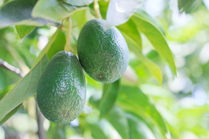 Gazipaşa ve Alanyanın iklimi sayesinde kısa sürede uyum sağlayan avokado ağacı, fidan olarak dikilmesinin ardından ilk 3 yıl meyve vermeden yalnızca suya ihtiyaç duyuyor. 3üncü yılda bir miktar meyve veren ağaç, 7-8 yaşına geldiğinde maksimum verim seviyesine çıkıyor. 8 yıl sonra bir ağaçtan ortalama 500 meyve alınıyor. 600-700 meyve veren ağaçlar da olabiliyor. Avokado, türüne göre tanesi 7 ile 10 lira arasında alıcı buluyor. Bir ağaçtan en verimli döneminde 3 bin 500 lira kazanç elde ediliyor. Yetiştirilmesi aşamasında hiçbir ilaç kullanılmayan ağaca, sadece su ve zaman zaman gübre ile destek vermek yeterli oluyor. Üretime göre 1 dönümde sezonda 10 bin lira kazandıran avokadodan verim almanın en önemli noktası ise sertifikalı fidan dikmek.