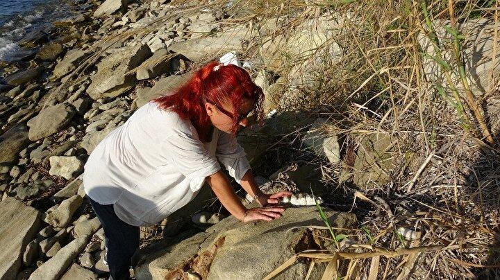 Çanakkalenin Ezine ilçesine bağlı Yeniköy sahillerinde bir grup amatör balıkçı tarafından, yaklaşık 9 milyon yıl öncesine ait olduğu düşünülen mamut fosilleri bulundu.