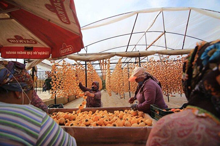 Trabzon hurması, Cennet hurması ya da Akdeniz hurması olarak da bilinen cennet elmalarından ilk etapta balkonda 40 kilo kurutarak işe başlayan Yılmaz, zamanla gelen talep artışı üzerine işi büyüttü.