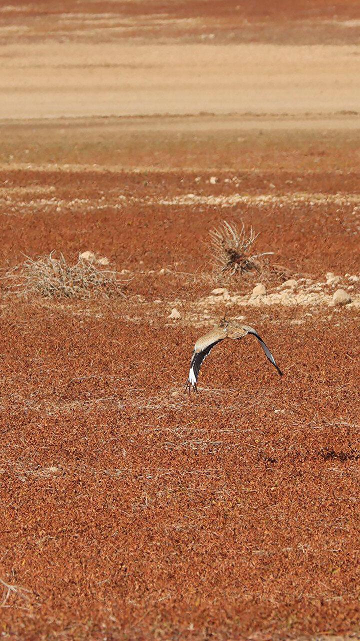 600 KİLOMETRE UÇABİLDİUydu ve radyo frekanslarıyla takip edilen kuşun 4 gün boyunca 600 kilometre uzaklıkta sabit bir noktadan sinyal göndermesi üzerine harekete geçildi.