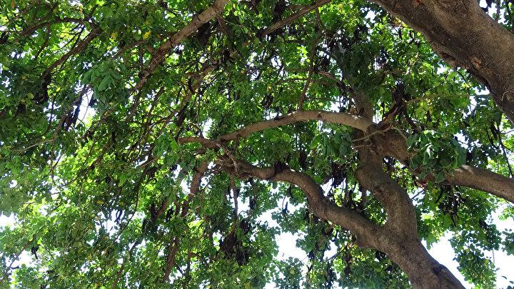 BİR AĞAÇTAN 100-300 KİLO ÜRÜN ALINIYOR  Alanyanın Değirmendere Mahallesinde bahçesinde keçiboynuzu yetiştiren Hilmi Günay da 20 yıllık bir ağaçtan yaklaşık 100- 300 kilogram arasında ürün aldıklarını söyledi. Bir ağaçtan ortalama 2 bin- 2 bin 500 TL arasında gelir elde ettiğini kaydeden Hilmi Günay, maliyeti az, kazancı bol olan ürünün Alanya bölgesinde genellikle pekmezinin yapıldığını vurguladı.