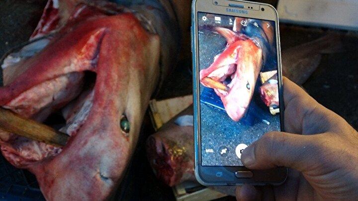 Mersin açıklarında dün avlanmaya çıkan balıkçıların ağlarına, dev köpek balığı takıldı. Yaklaşık 5 metre uzunluğunda ve 400 kilogram ağırlığındaki pamuk cinsi köpek balığı, görenlerin ilgisini çekiyor. Sabah saatlerinde balık pazarına getirilen balığı, 7 kişi ancak kaldırabilirken, çevreden geçen vatandaşlar da meraklı gözlerle balığı izledi. Balıkçılar ve vatandaşlar dev köpek balığının bol bol fotoğrafını çekerken, balığın özellikle kanser hastalarına ücretsiz dağıtılacak olması vatandaşların takdirini kazandı.