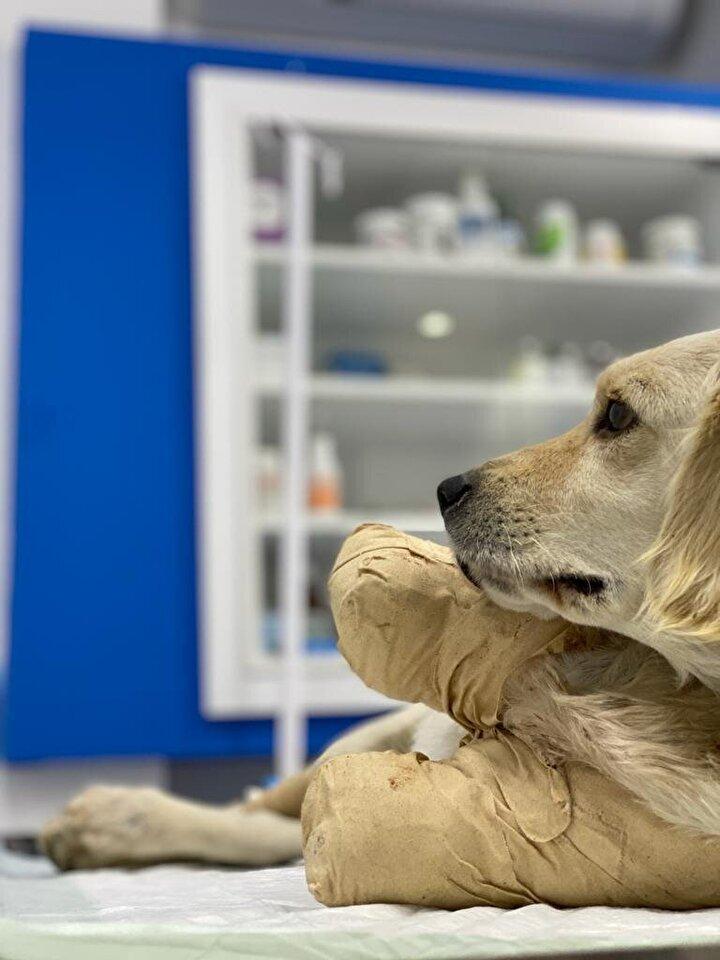 İlçeye bağlı Memduhiye Mahallesinde yaralı yavru köpek bulanlar, fotoğraflarını çekip, sosyal medya üzerinden Hayvan Hakları Federasyonu (HAYTAP) Samsun Temsilciliği'ne gönderdi.