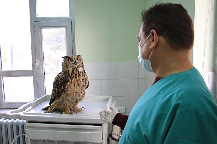 Kanatlarının açıklığıyla 1 metreyi geçen ve vücudunda herhangi bir yaranın olmadığı öğrenilen baykuşun yapılan tedavinin ardından tekrar doğaya salınacağı aktarıldı.