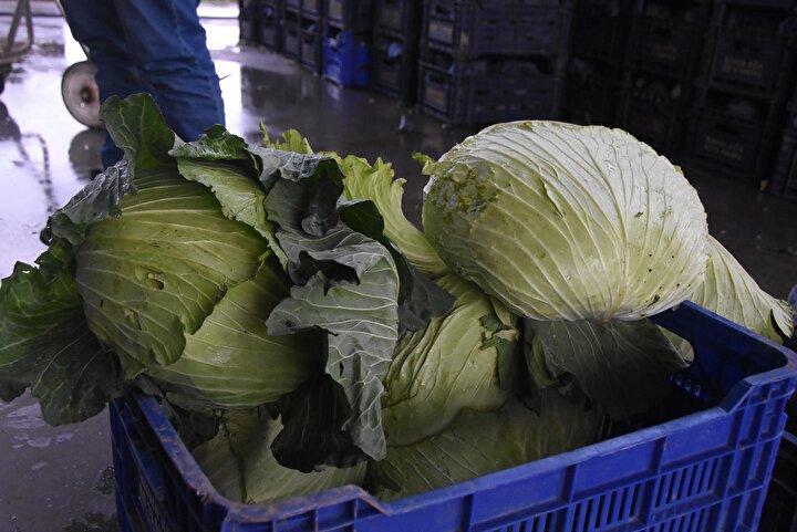 Geçen yıl pazarda kilosu kalitesine göre 2 TLye satılan lahananın fiyatı bu yıl 5 TLye çıktı. İçerdiği lif, antioksidan, vitamin ve mineraller sayesinde hücre yenileyici özelliğe sahip olan lahana, bu sene pazarlarda rağbet gören ürünlerinde başında gelmeye başladı.