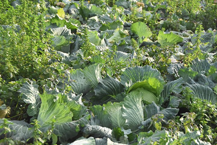 Koronavirüs salgınından sonra tüm dünya, virüse karşı güçlü kalabilmek için doğal beslenmeye yöneldi. Bağışıklık sistemini güçlendiren besinler revaçta olurken, bunlardan biri olan lahanaya da talep arttı.